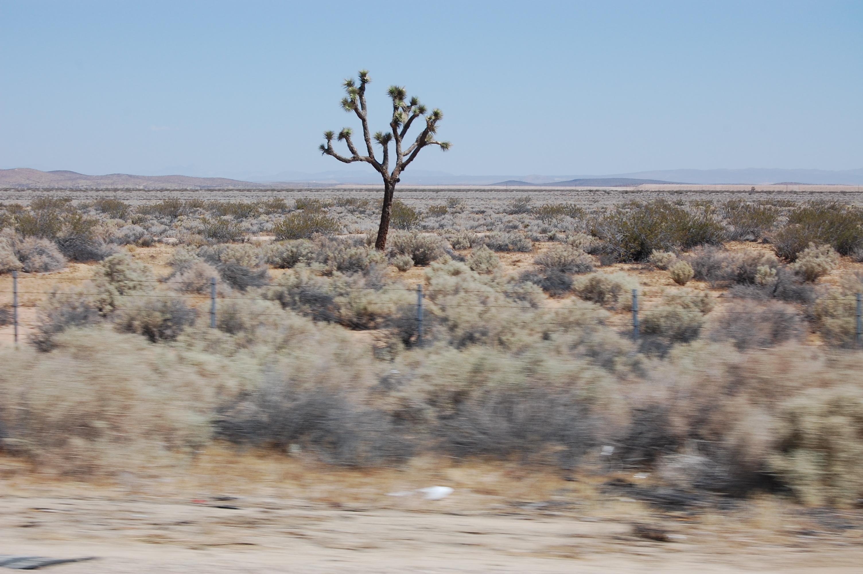 A Joshua tree in the Arizona desert