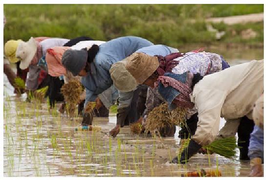 Rice planting, Cambodia