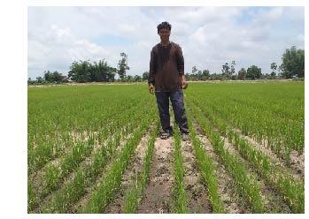 Lao rice farmer