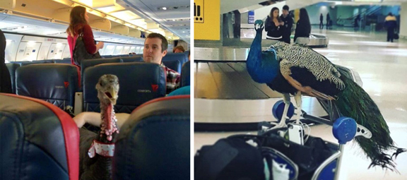 """Left: """"guide turkey"""" sitting in aircraft with owner; righht:  """"guide peacock"""" on trolley at airport"""