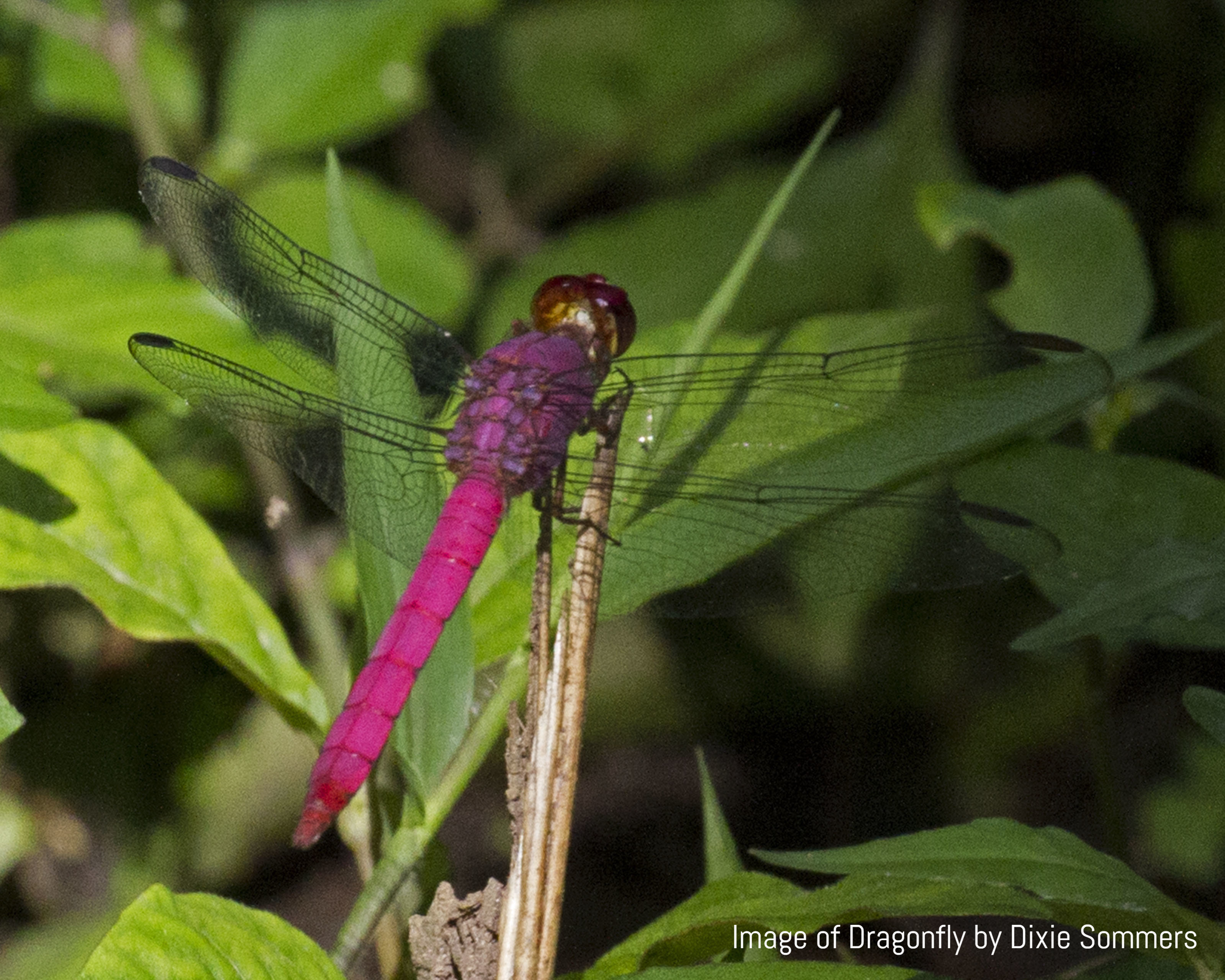 Image of Dragonfly by Dixie Sommers