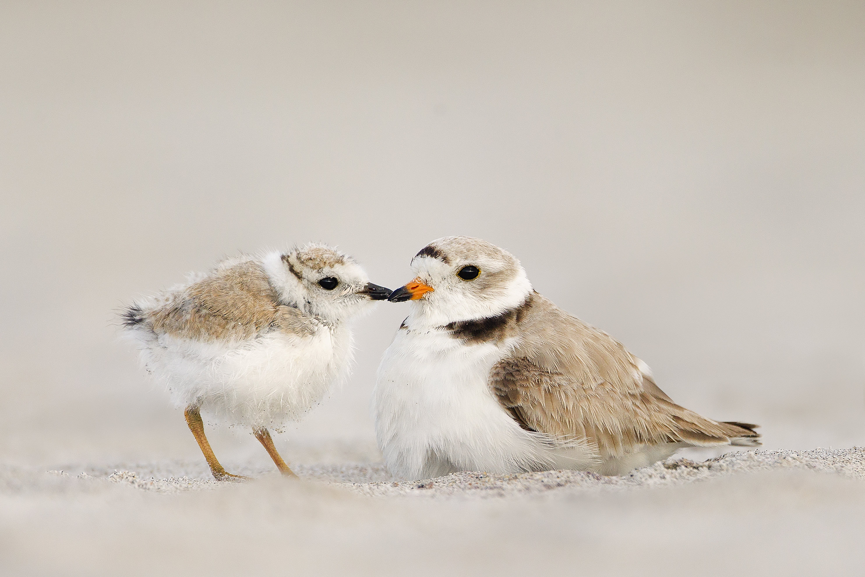 Piping Plover -- Melissa Groo/Audubon Photography Awards