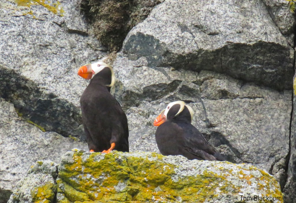 Tufted Puffins are among the denizens of remote Wrangel Island, off Siberia