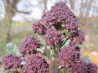 Purple-sprouting broccoli Santee