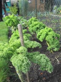 Kale 'Westland Winter'