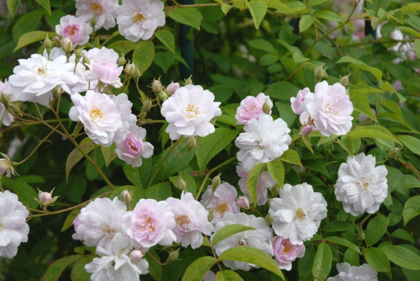 4 tips til at få sunde roser