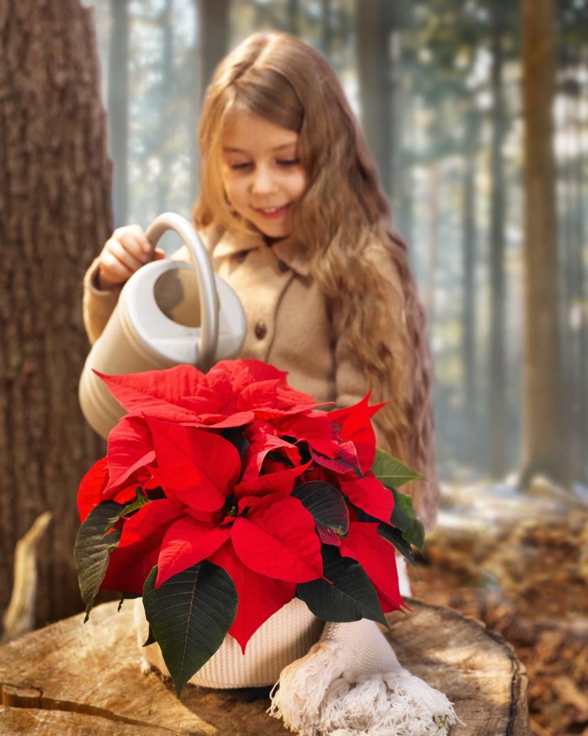 Sådan overlever dine julestjerner