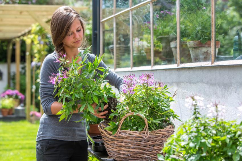 Hvor meget gødning skal sommerblomsterne have?