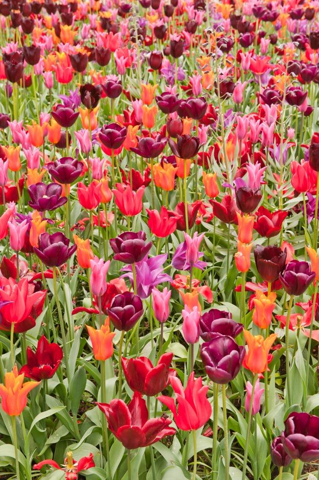 Sådan planter du forårets blomsterløg
