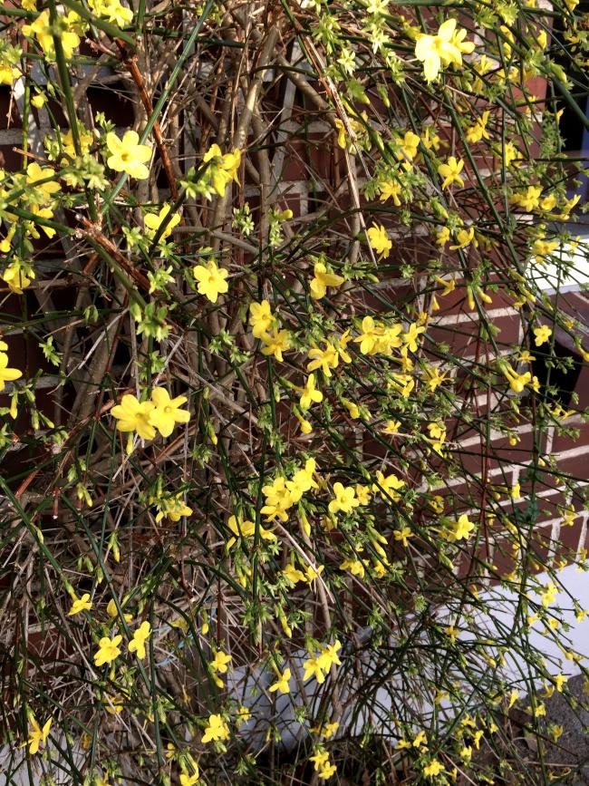 Fin gul vinterblomst