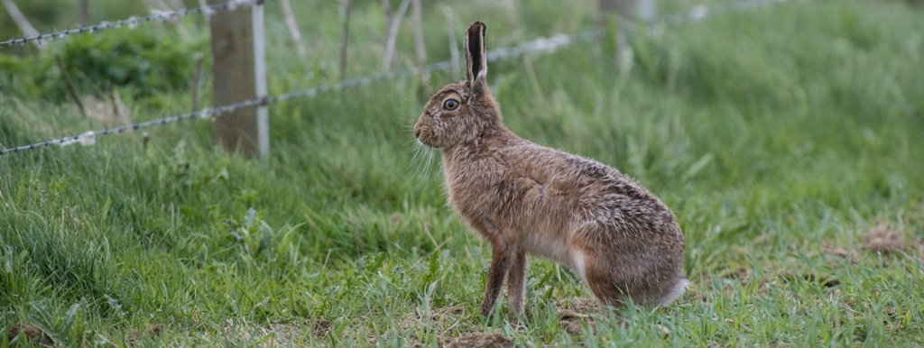 Brown hare in fields in Orkney