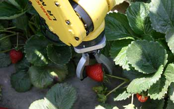 strawberry skynet harvest