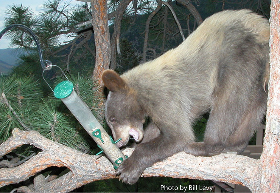 photo: bear on branch eating birdseed