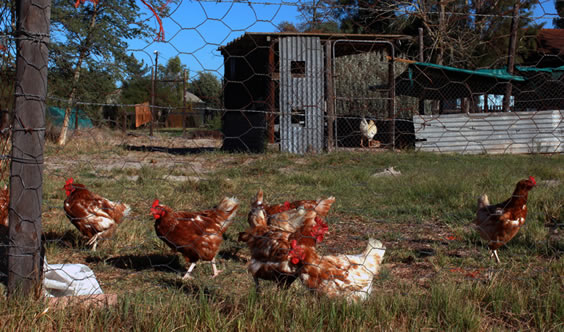 Camphill chicken project