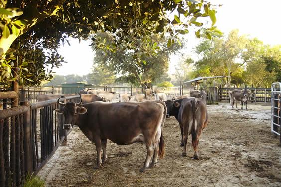 Camphill dairy herd