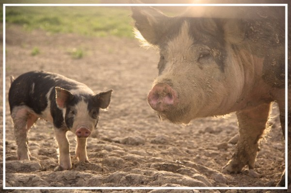 Seven Sons Farms pigs