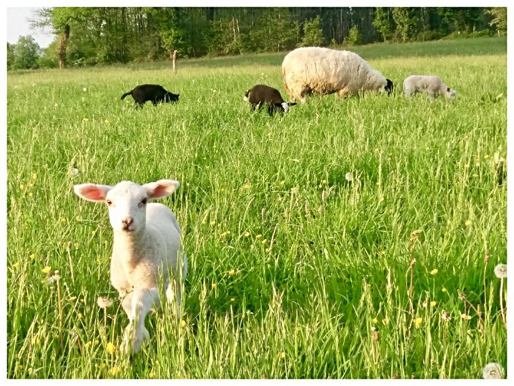 Moeder schaap met haar lammetjes in de weide