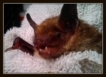 Sassy the bat soon after arrival, note worn teeth from trying to free herself