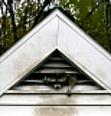 Raccoon living in attic