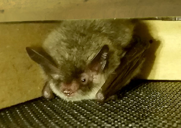 a Northern long-eared bat at WTS