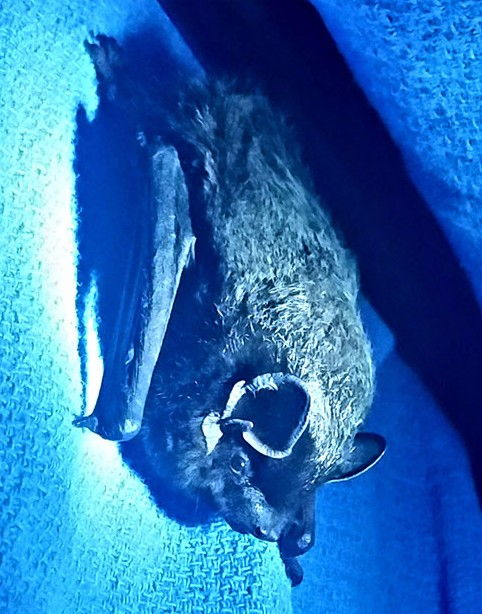 A Silver-haired bat from NYC