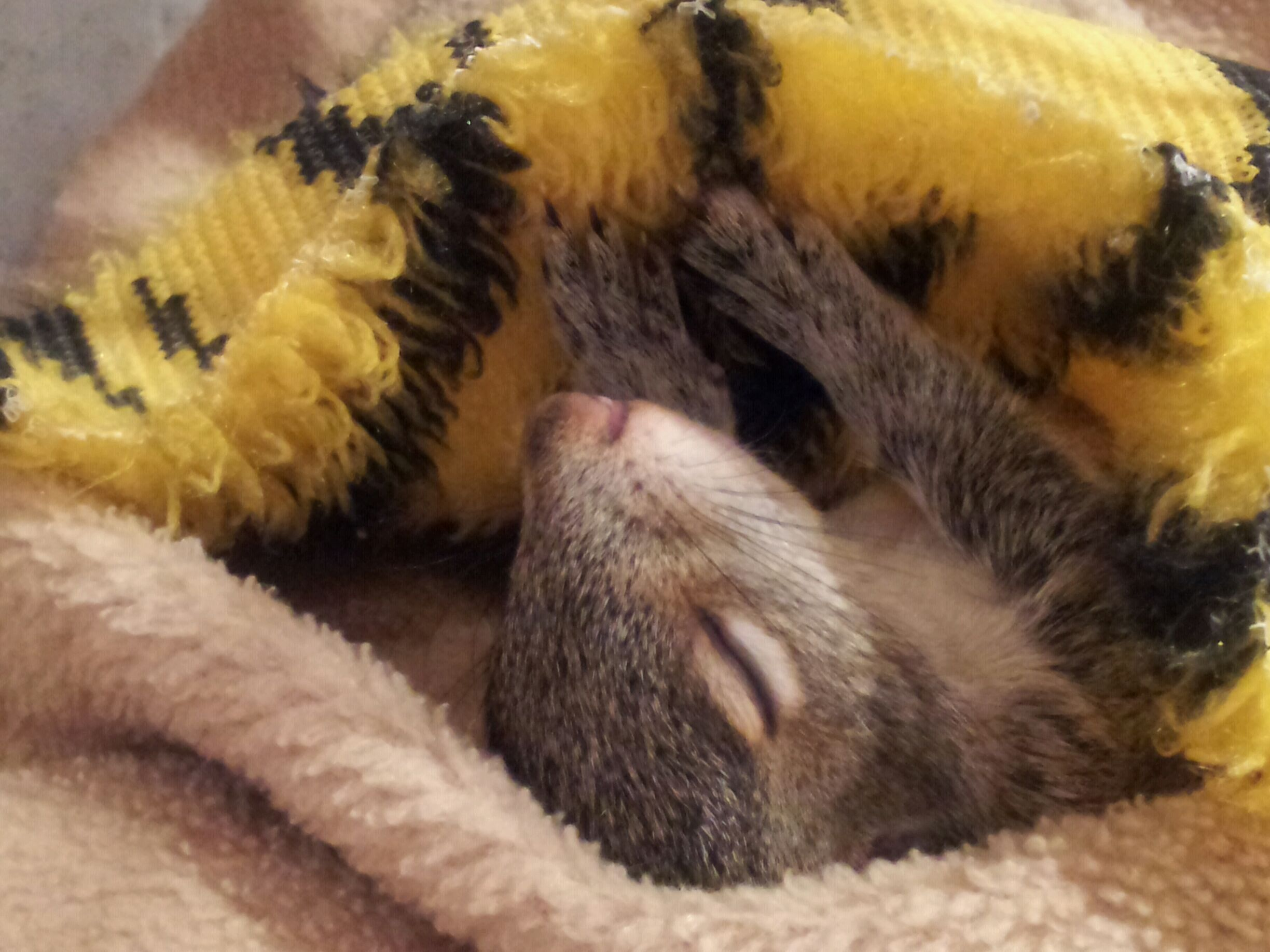 """Birdy"" the baby squirrel sleeps in cozy blankets"