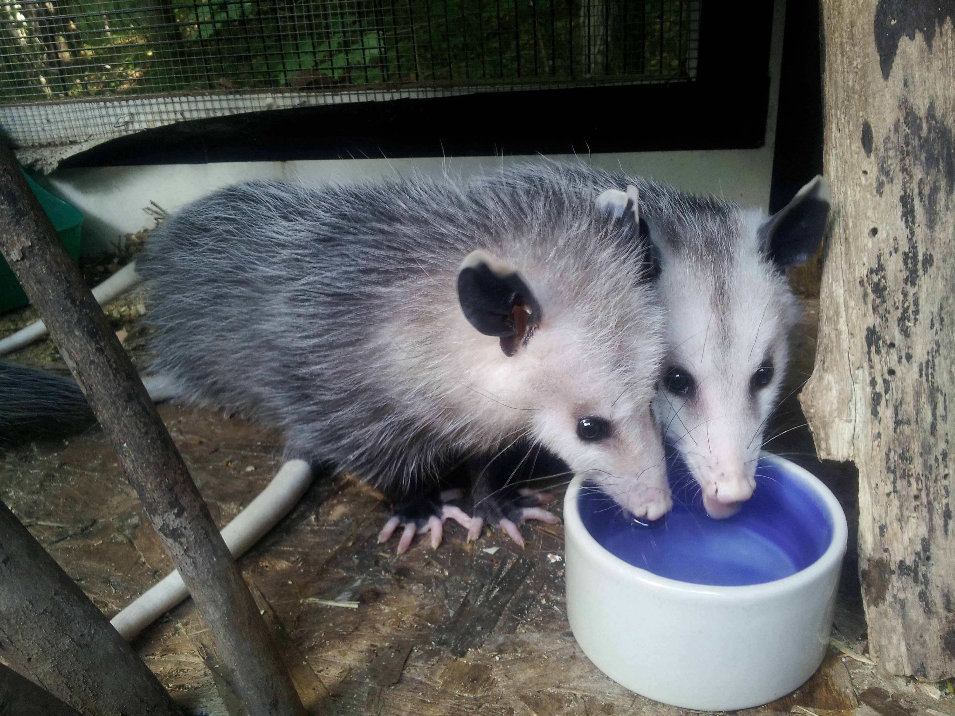 Sister Opossums share a drink!