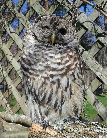 Barnaby the Barred Owl
