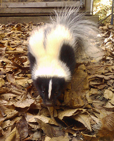 Striped Skunk at Wild Things Sanctuary