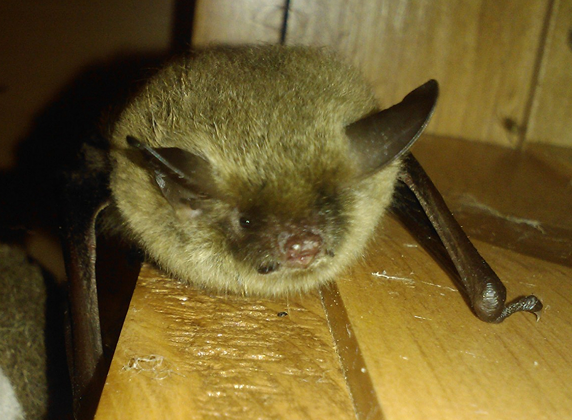 A Northern long-eared bat