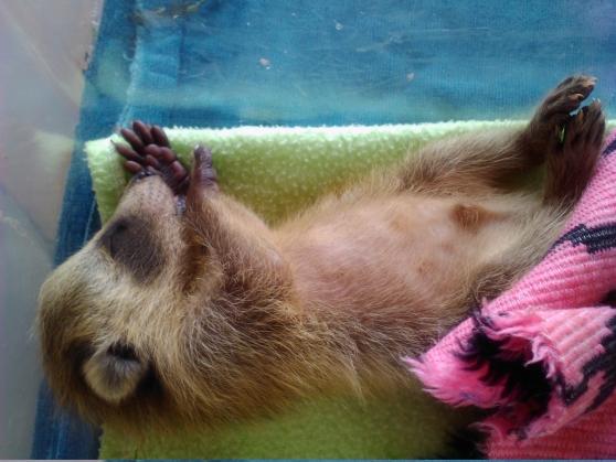 FuzzBall teh raccoon 2-3weeks old