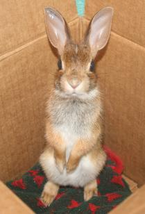 An Easterrn Cottontail about to be released