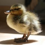 A baby mallard