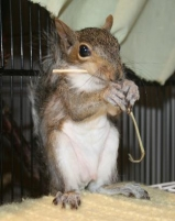 A baby squirrel lost his home when his tree was cut down