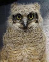 Orphaned Great Horned Owl