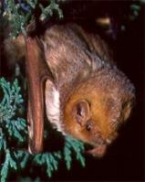 Eastern Red Bat, photo by Bob Gress