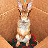 Help, I found an animal in trouble! Eastern Cottontail at Wild Things Sanctuary