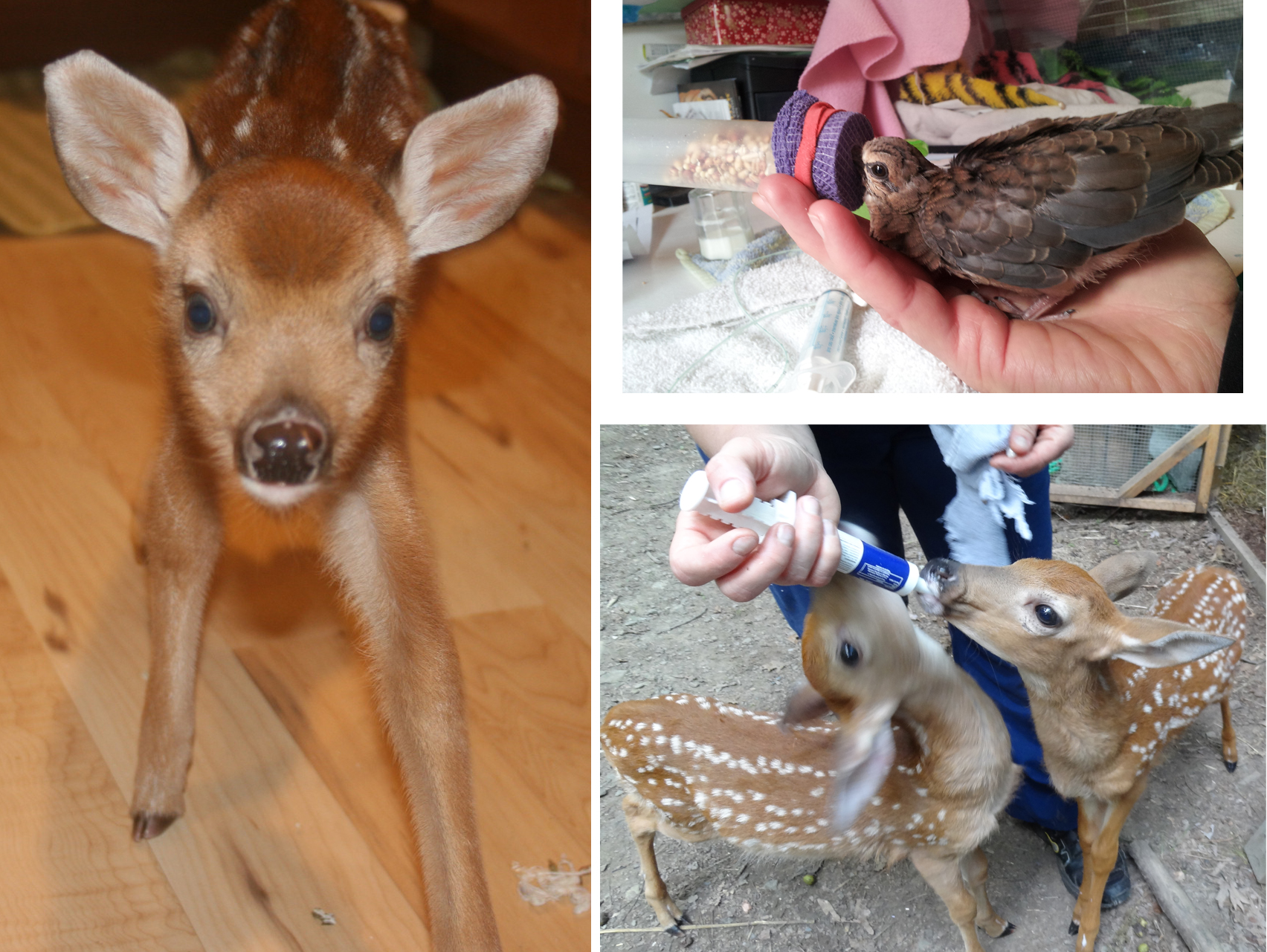 Fawns & Volunteers