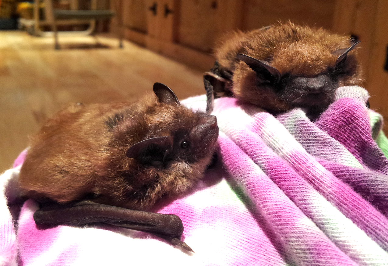 Big brown bats hurt by cats