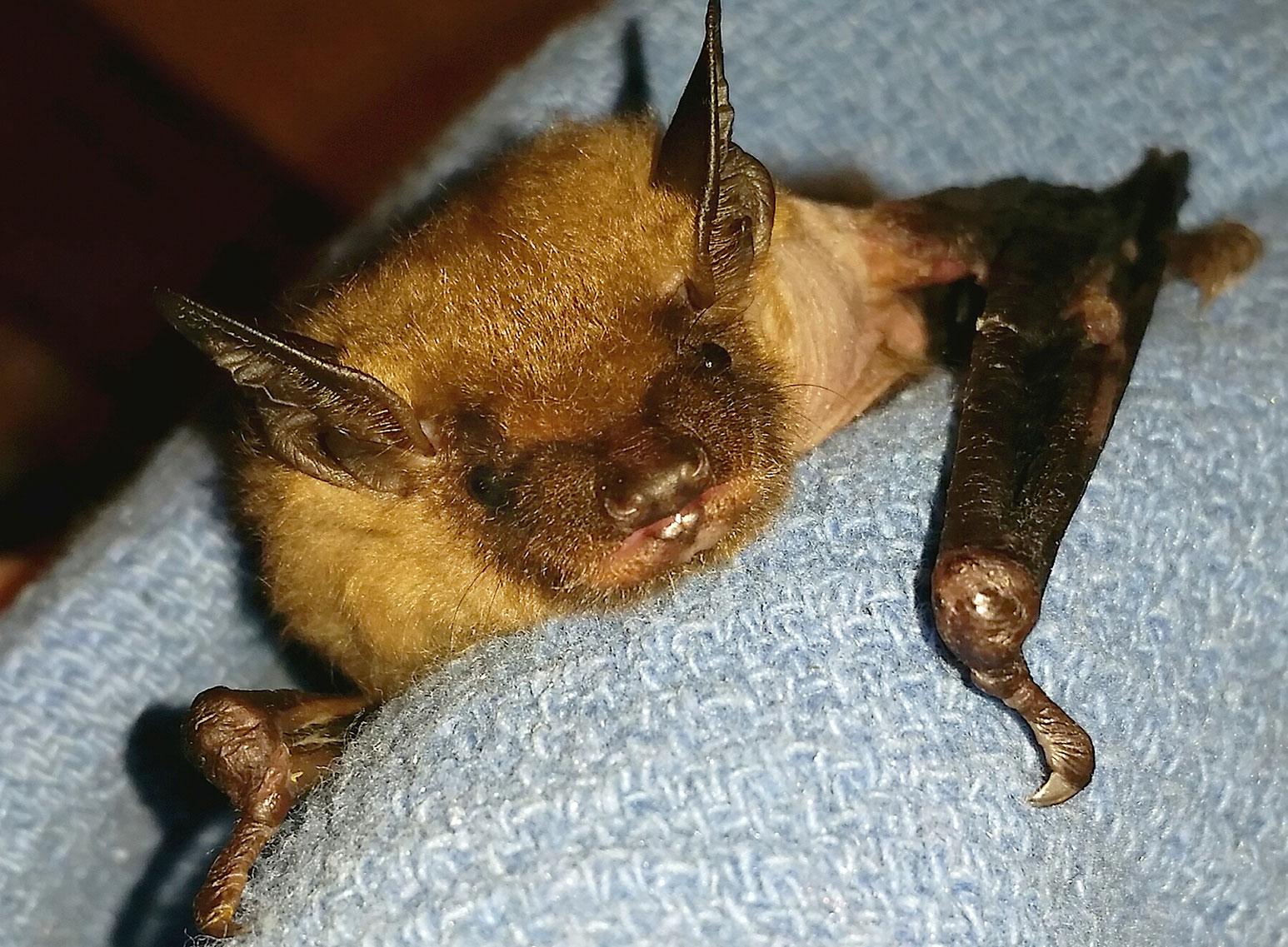 LIttle girl a big brown bat