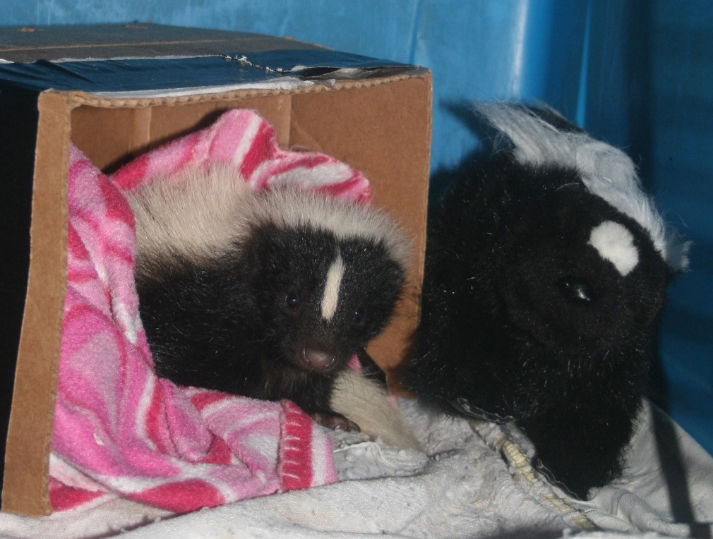 Little Skunk with his toy