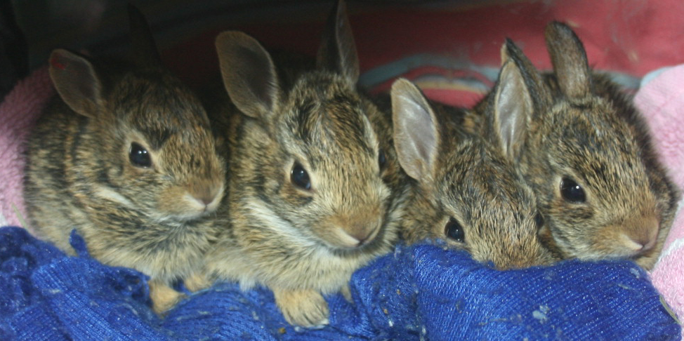 Baby bunnies, about 3 weeks old