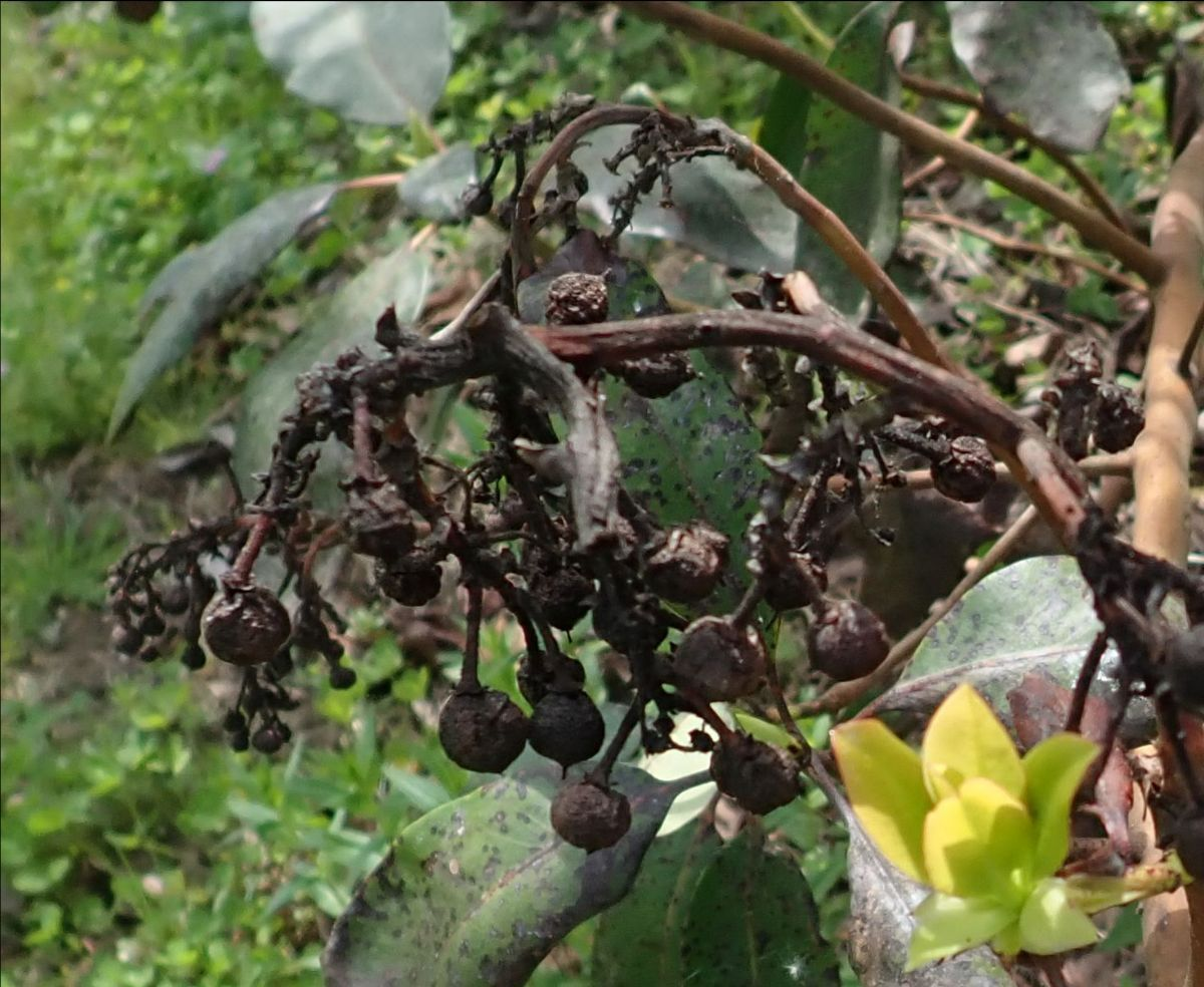 madrone berries with Botryosphaeria fruit rot