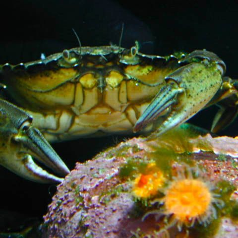 Green Crab. Photo by Oregon Sea Grant