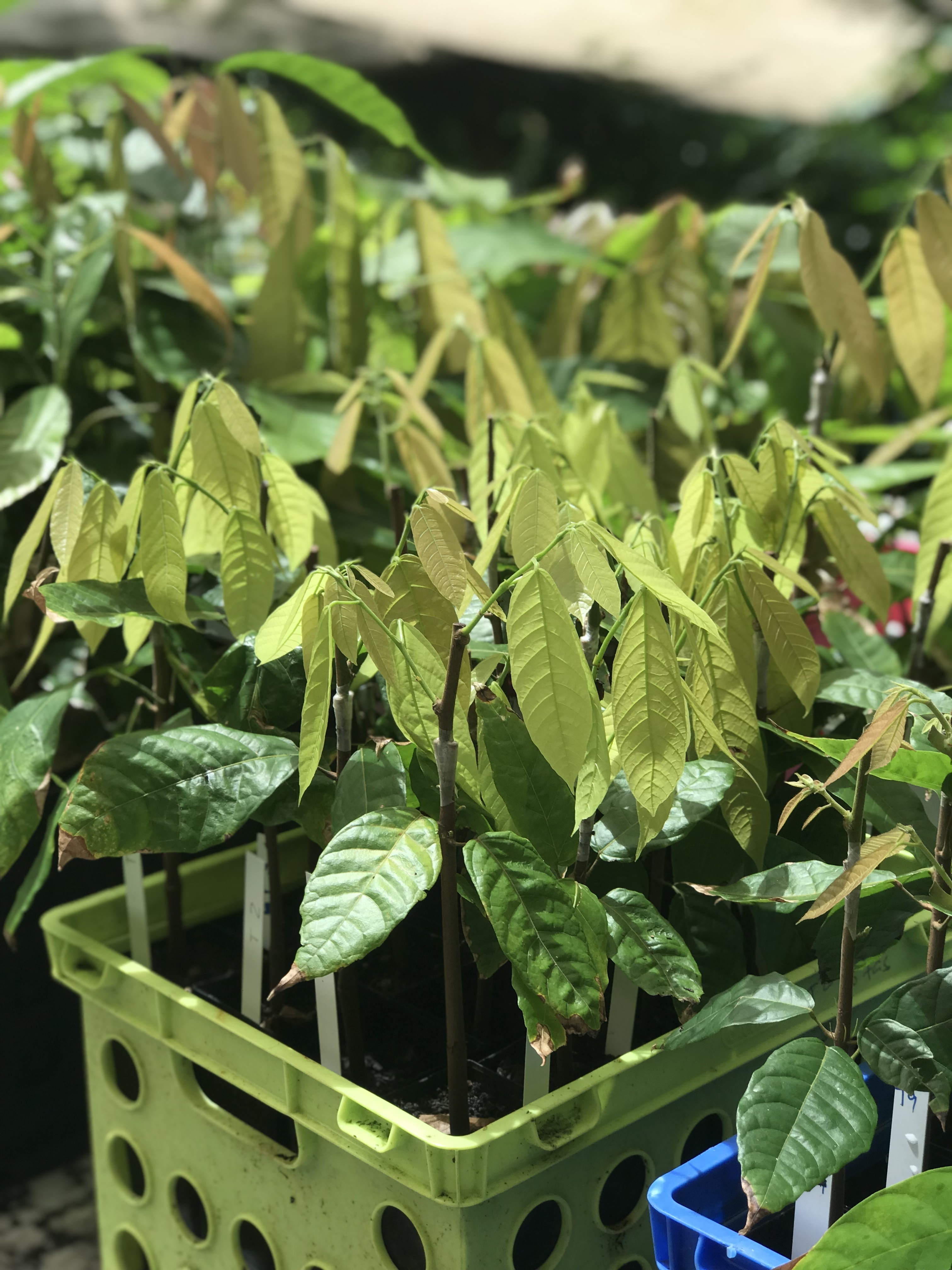 Close up of grafted cacao tree seedlings in crates ready for planting