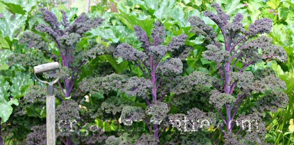 grow your own organic kale