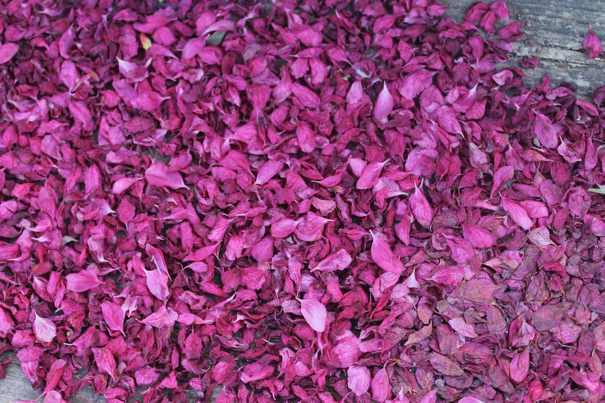 image of fuchsia petals from blossoms of a Choke cherry tree