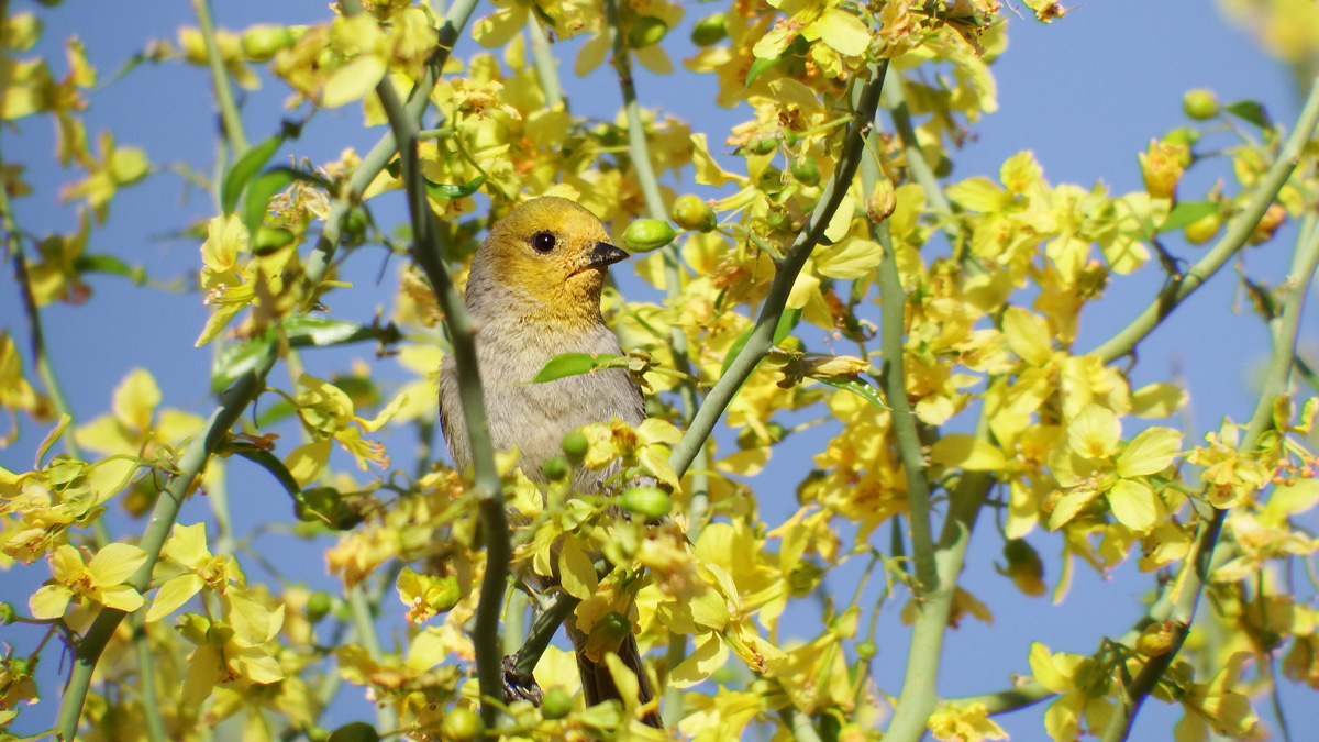 a yellow bird sitting in a bush with yellow flowers
