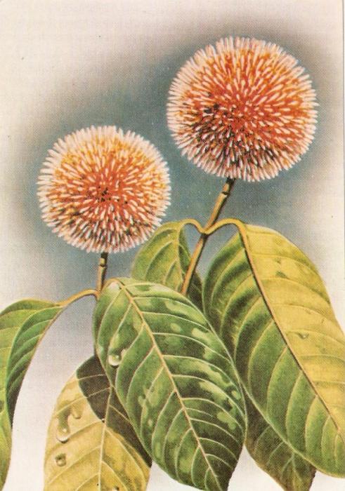 Kadamba flowers