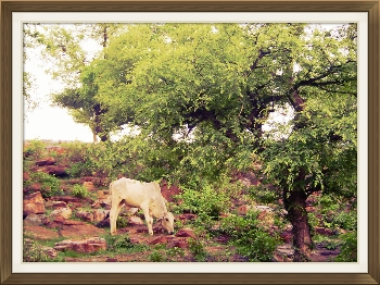 Photo of Govardhan Hill with cow grazing